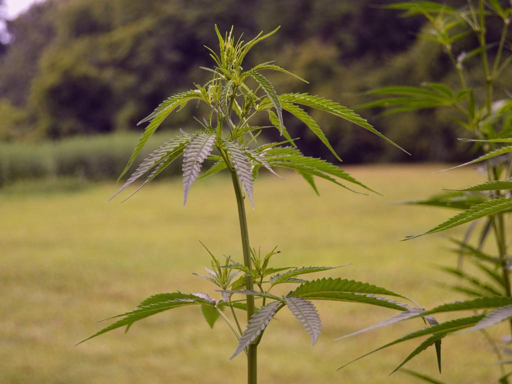 Q&A: CohnReznick Asks IIP CEO how Cannabis Operators Can