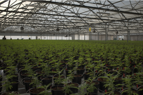 Glass House Group Announces Completion Of Greenhouse Expansion, Now Boasting 505K Sq. Ft. Of Grows