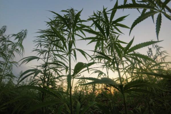 Federal Agencies Clarify Banking Rules For Hemp Businesses