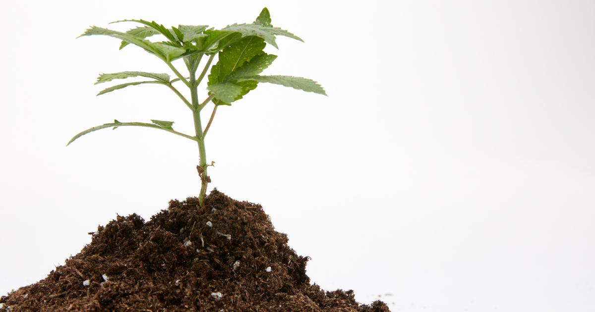 Cannabis Cultivation Basics: 5 Great Soils For Growing Marijuana