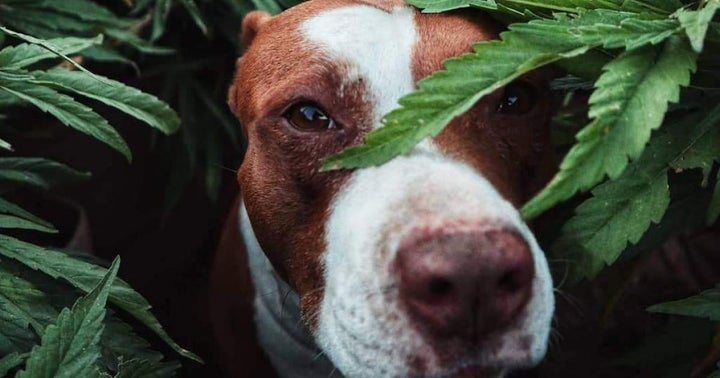 Cannabidiol And Your Pets: A Guide To Effective Treatment