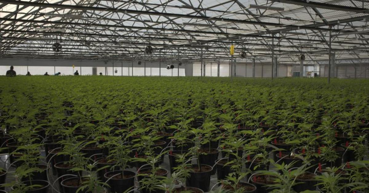 Glass House Shows Us Its Massive Cannabis Greenhouse