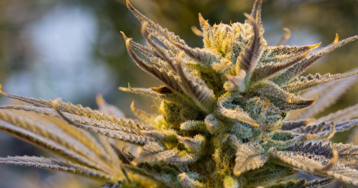 Michigan To Allow Some Marijuana Transfers, Sales Expected December 1