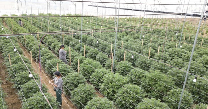 Northern Swan, Colombia-Based Cannabis Producer Clever Leaves Integrate Operations