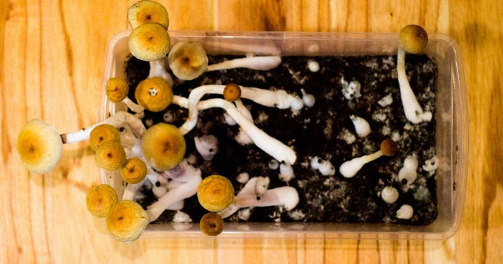 Mydecine Exports Psilocybin Mushrooms From Jamaica To Canada — An Industry First