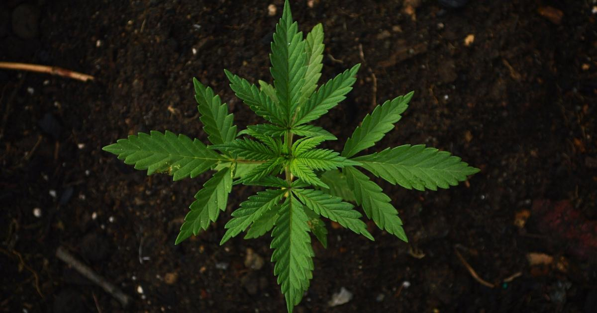 Home Cannabis Cultivation Continues, Despite Opposition From Many Marijuana Companies