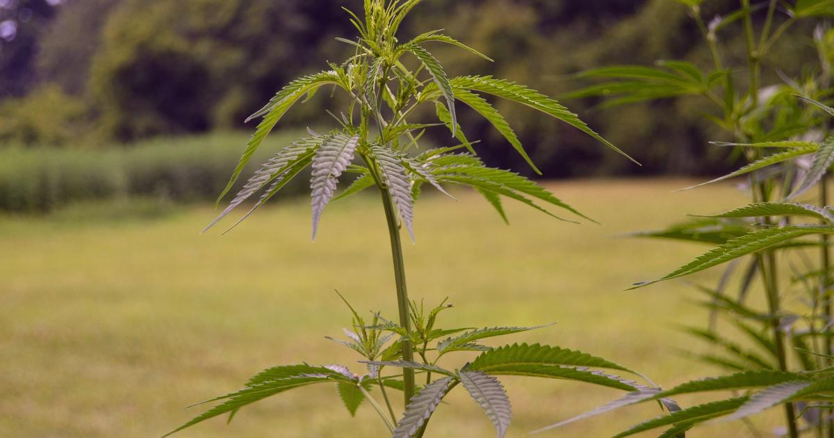 InterCannAlliance Africa Reveals The Vast Potential Of Africa's Fast-Growing Cannabis Market