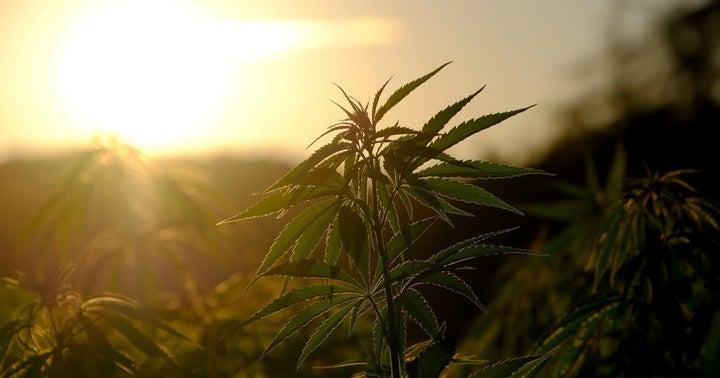 Stock Wars: Aurora Cannabis Vs. Tilray