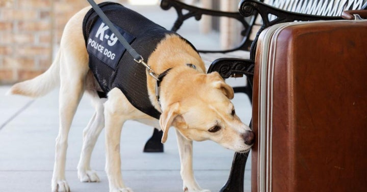 Drug Sniffing Dogs: How Accurate Are They? Can They Smell Your Weed And Hash?
