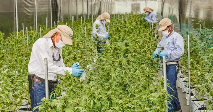 These Are The 'Big 4' Colombian Cannabis Producers