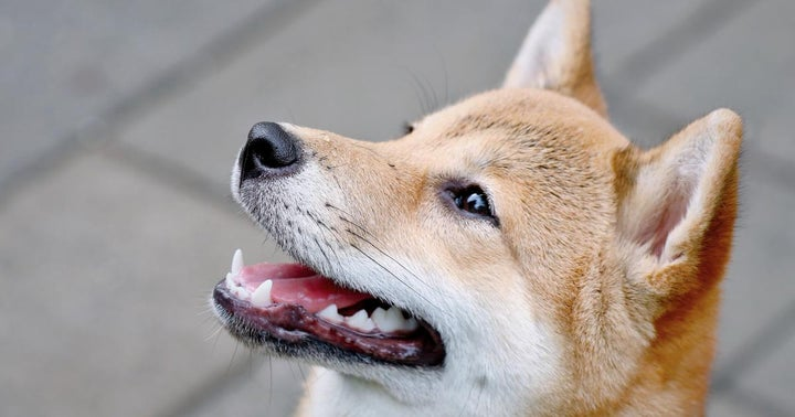 Shiba Inu Sister Token, A Literal Dogecoin Killer, Has Soared 650% This Week: What You Need To Know