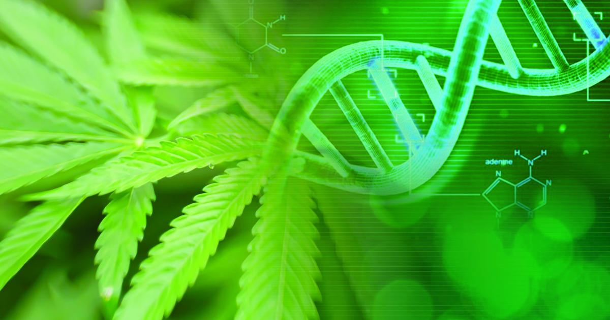 Cannabis Genetics: Study Reveals Genes Related To Sex Modification In Feminized Plants