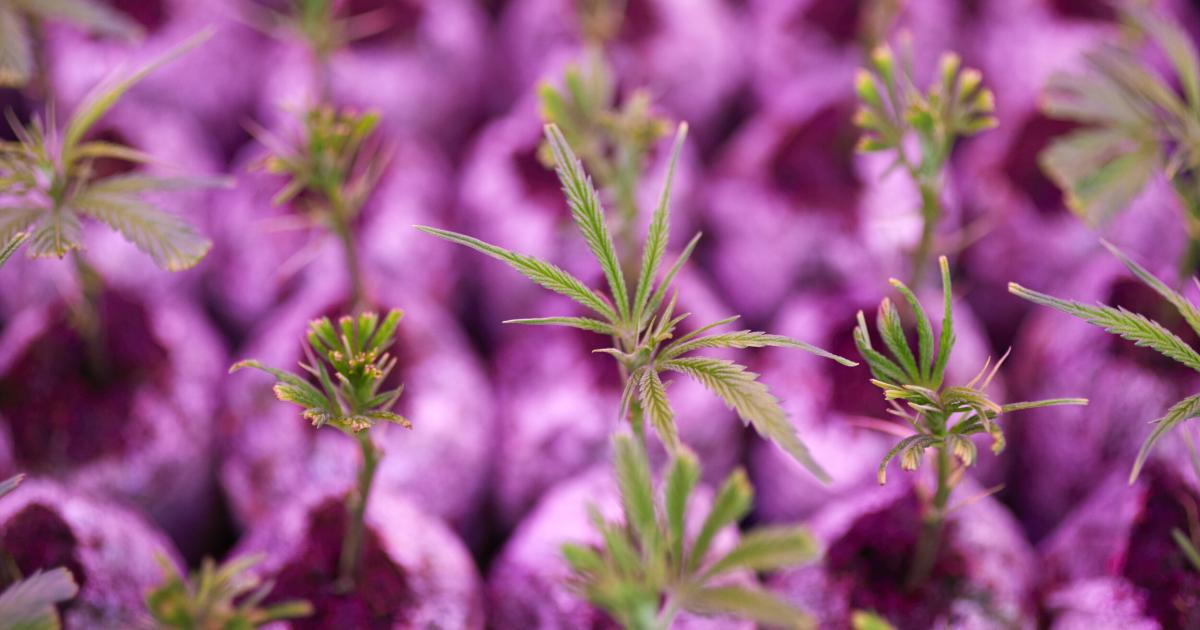 Is Tilray Set For Another Short Squeeze? - Benzinga
