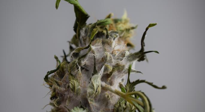 Staying Safe From Cannabis Contamination
